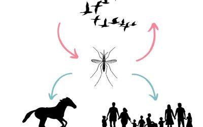 Het westnijl virus kan dodelijk zijn, daarom moet je je paard nu enten!